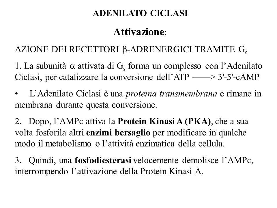 Attivazione: ADENILATO CICLASI