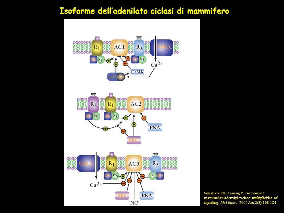 Isoforme dell'adenilato ciclasi di mammifero
