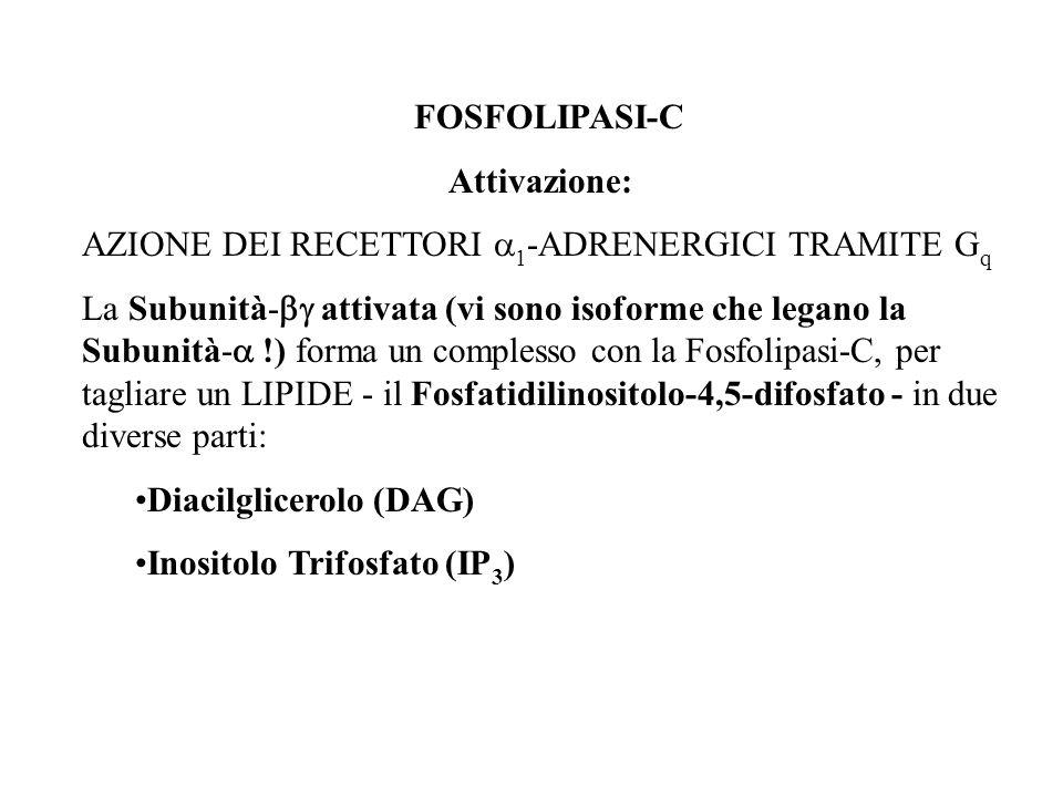 FOSFOLIPASI-C Attivazione: AZIONE DEI RECETTORI a1-ADRENERGICI TRAMITE Gq.