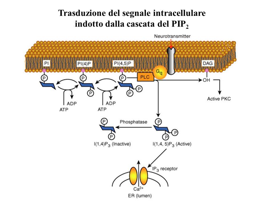 Trasduzione del segnale intracellulare indotto dalla cascata del PIP2