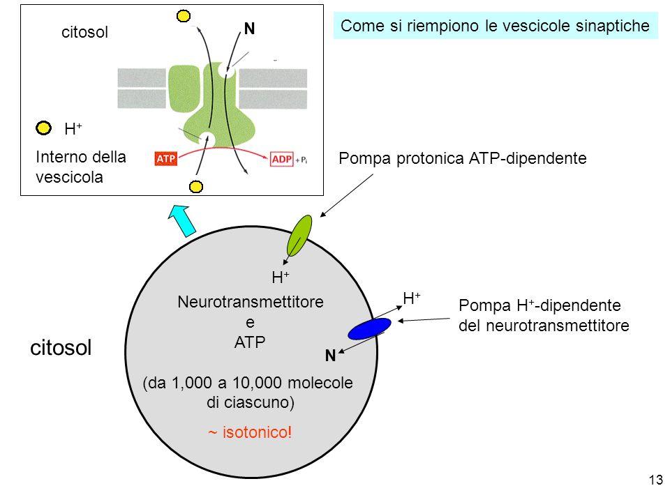 citosol Come si riempiono le vescicole sinaptiche N citosol H+