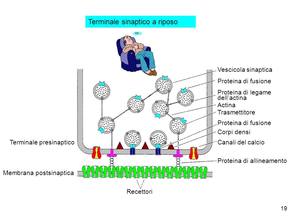 Terminale sinaptico a riposo