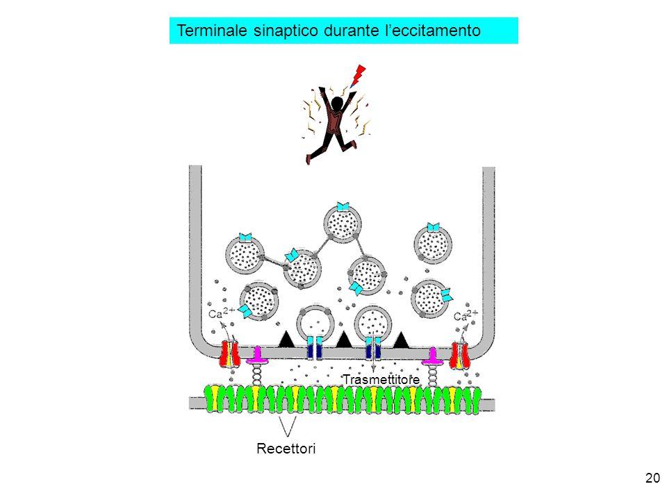 Terminale sinaptico durante l'eccitamento