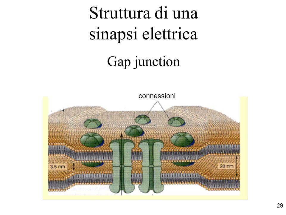 Struttura di una sinapsi elettrica