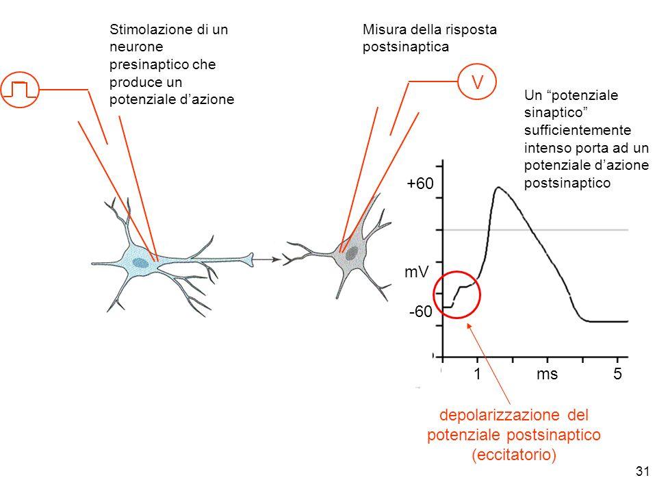 depolarizzazione del potenziale postsinaptico (eccitatorio)