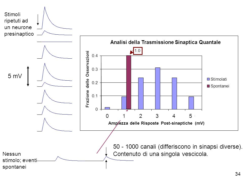 50 - 1000 canali (differiscono in sinapsi diverse).
