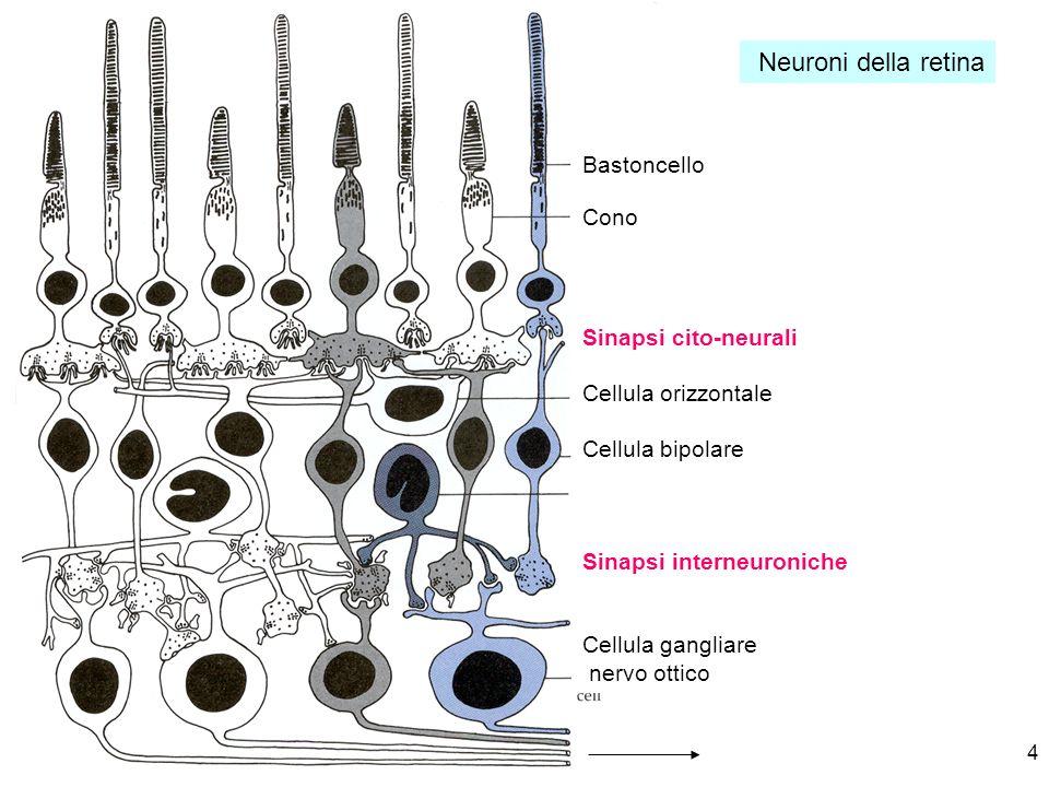Neuroni della retina Bastoncello Cono Sinapsi cito-neurali