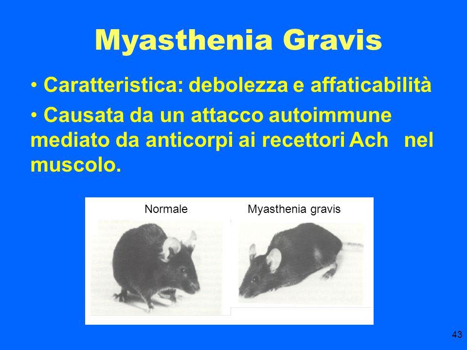 Myasthenia Gravis Caratteristica: debolezza e affaticabilità
