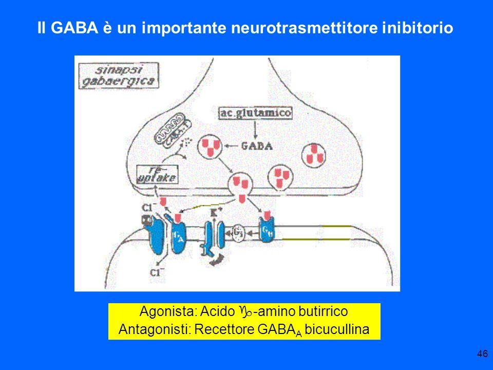 Il GABA è un importante neurotrasmettitore inibitorio