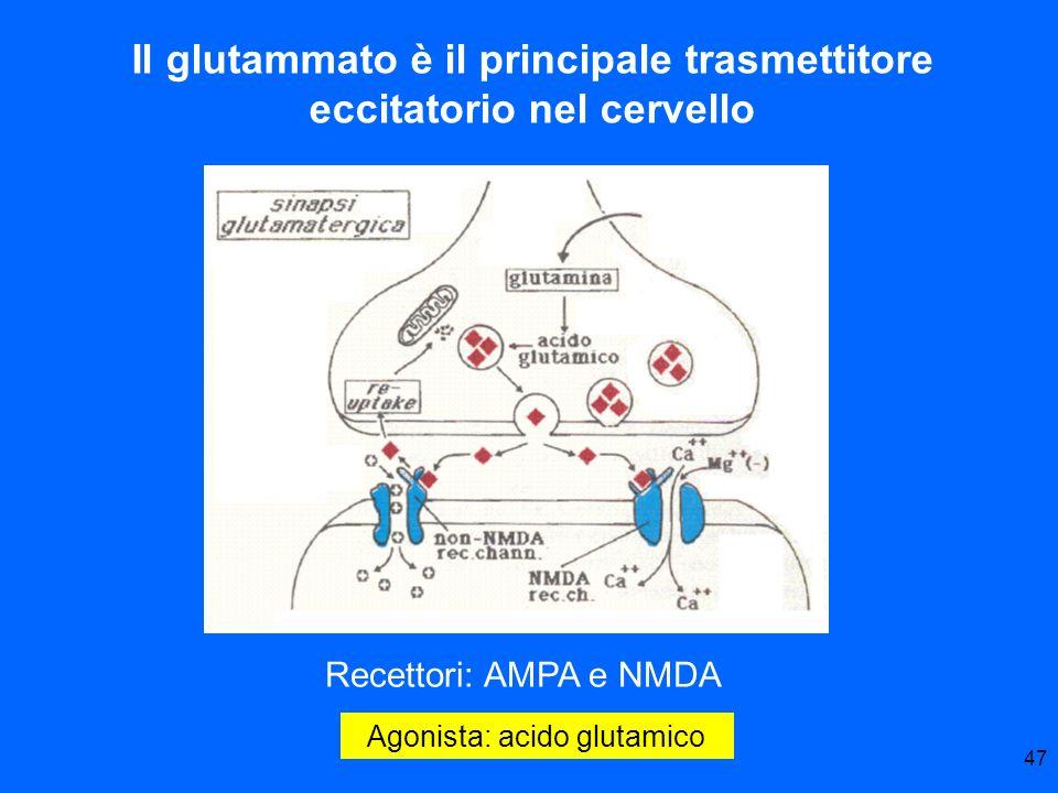 Il glutammato è il principale trasmettitore eccitatorio nel cervello
