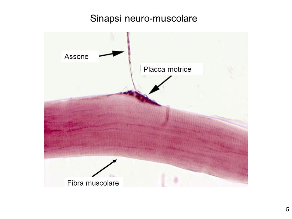 Sinapsi neuro-muscolare