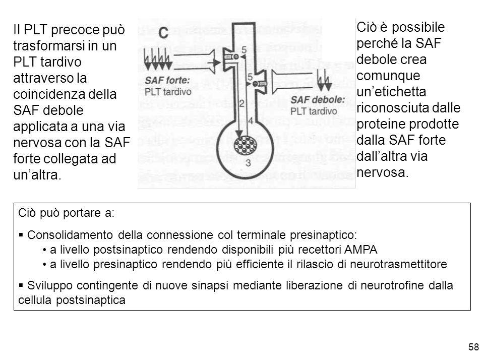 Il PLT precoce può trasformarsi in un PLT tardivo attraverso la coincidenza della SAF debole applicata a una via nervosa con la SAF forte collegata ad un'altra.