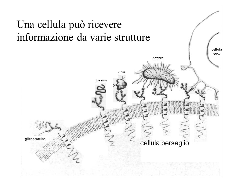 Una cellula può ricevere informazione da varie strutture
