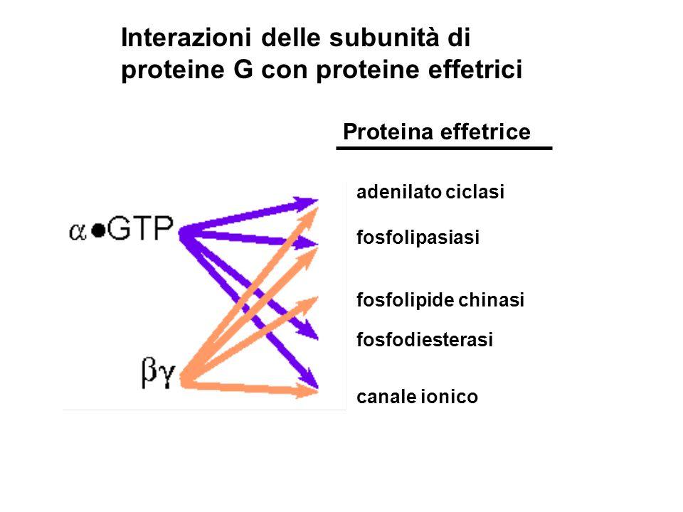 Interazioni delle subunità di proteine G con proteine effetrici