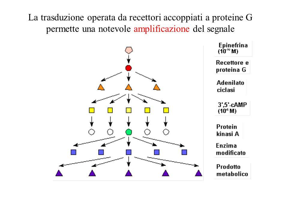 La trasduzione operata da recettori accoppiati a proteine G permette una notevole amplificazione del segnale