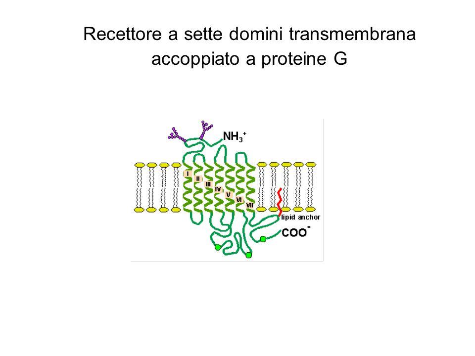 Recettore a sette domini transmembrana accoppiato a proteine G