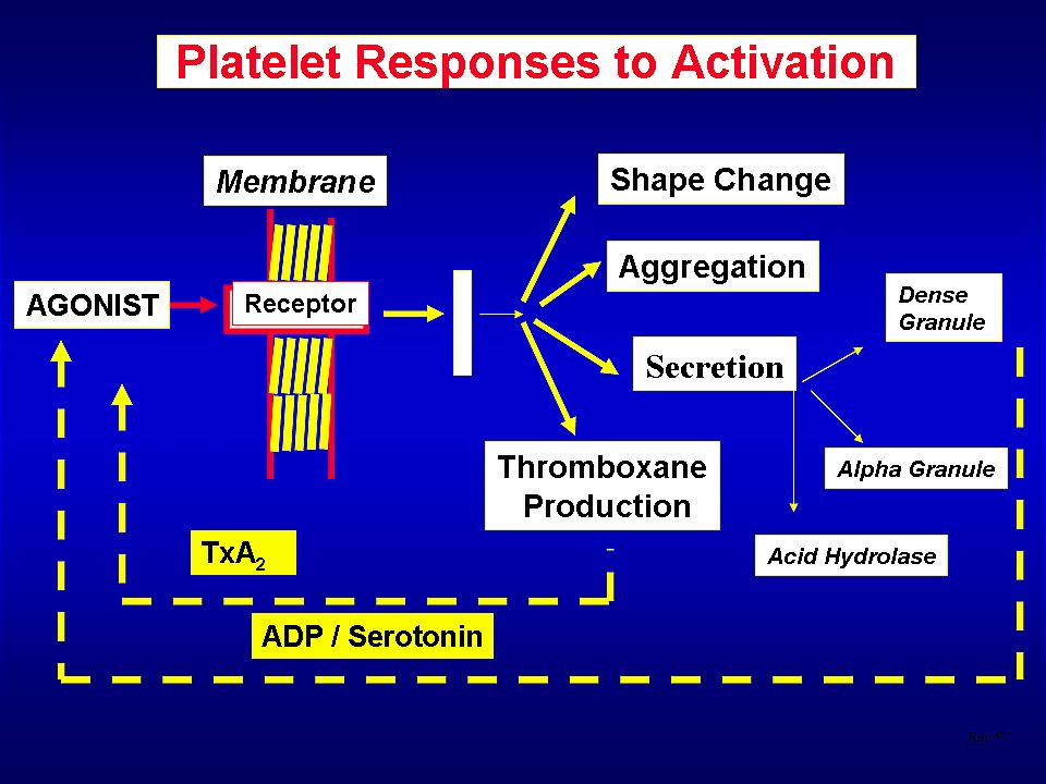 On platelet activation a number of responses can be shown to occur, including a change in shape from disk to sphere, platelet aggregation, granule release or secretion, and thromboxane (TxA2) production.