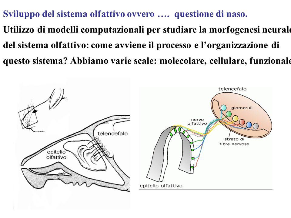 Sviluppo del sistema olfattivo ovvero …. questione di naso.