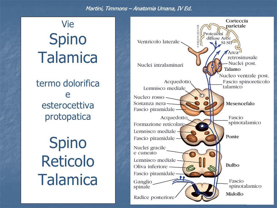 Vie Spino Talamica termo dolorifica e esterocettiva protopatica Spino Reticolo Talamica