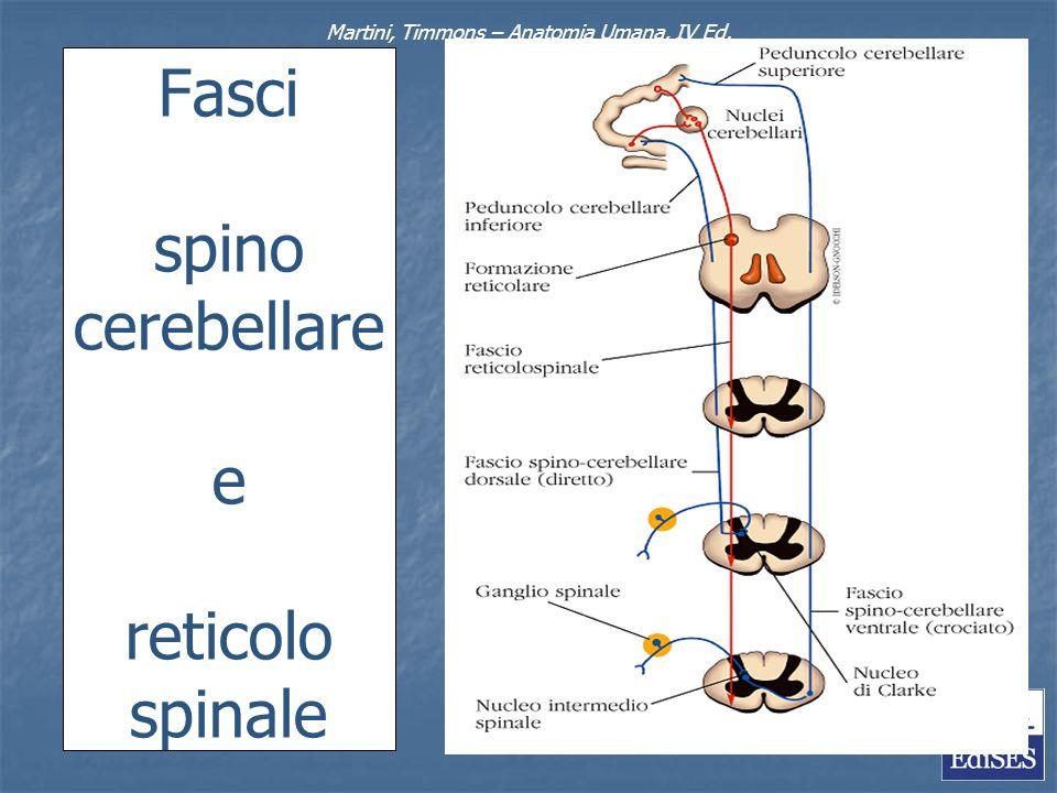 Fasci spino cerebellare e reticolo spinale