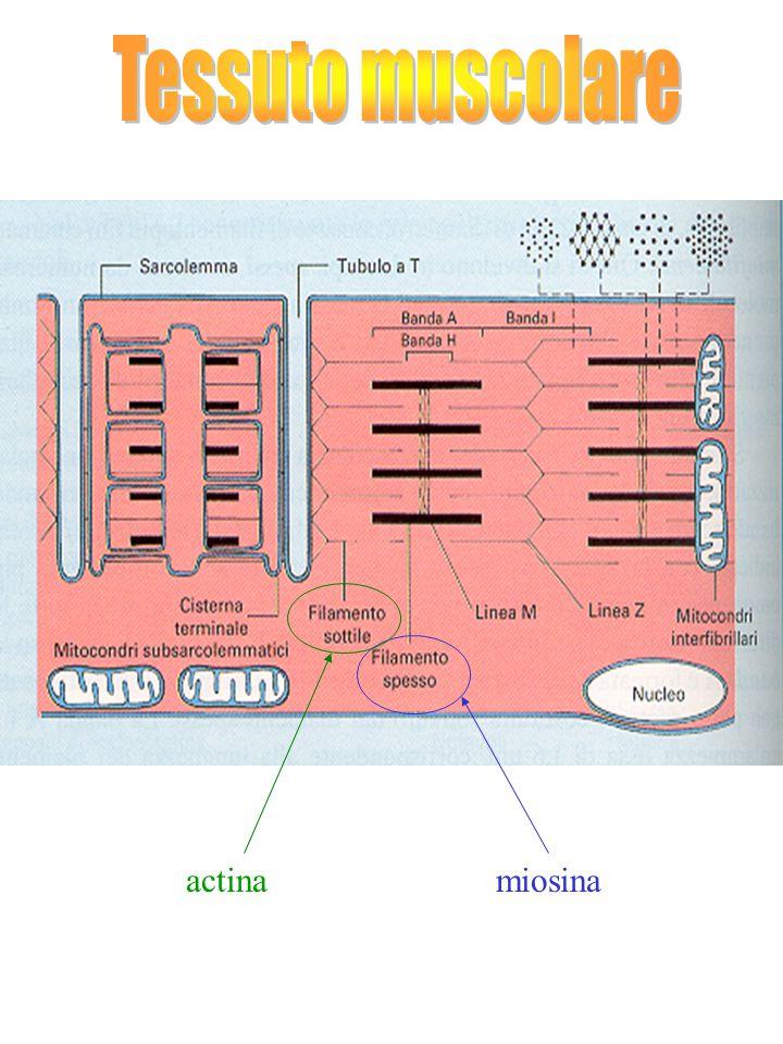 Tessuto muscolare actina miosina