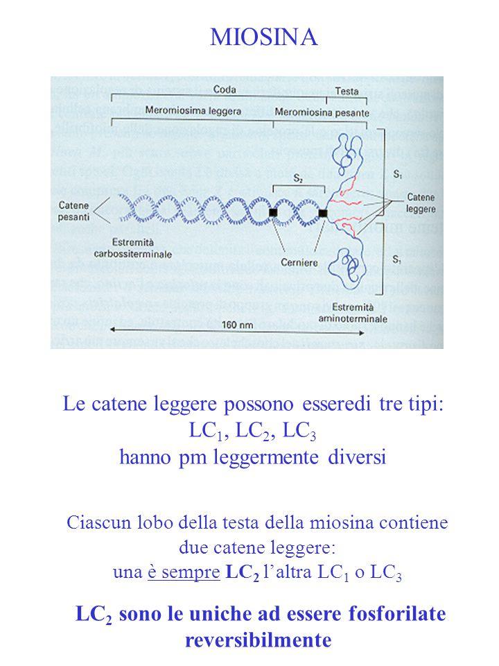 MIOSINA Le catene leggere possono esseredi tre tipi: LC1, LC2, LC3