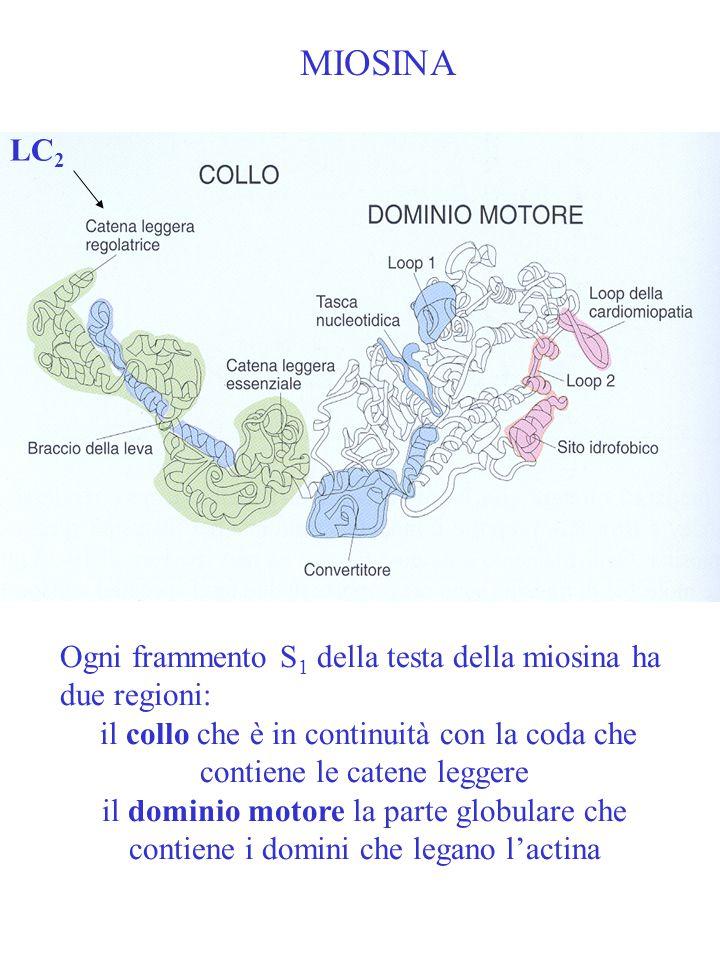 MIOSINA LC2. Ogni frammento S1 della testa della miosina ha due regioni: il collo che è in continuità con la coda che contiene le catene leggere.