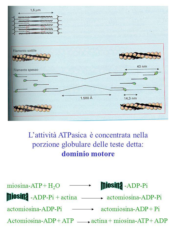 L'attività ATPasica è concentrata nella porzione globulare delle teste detta: dominio motore