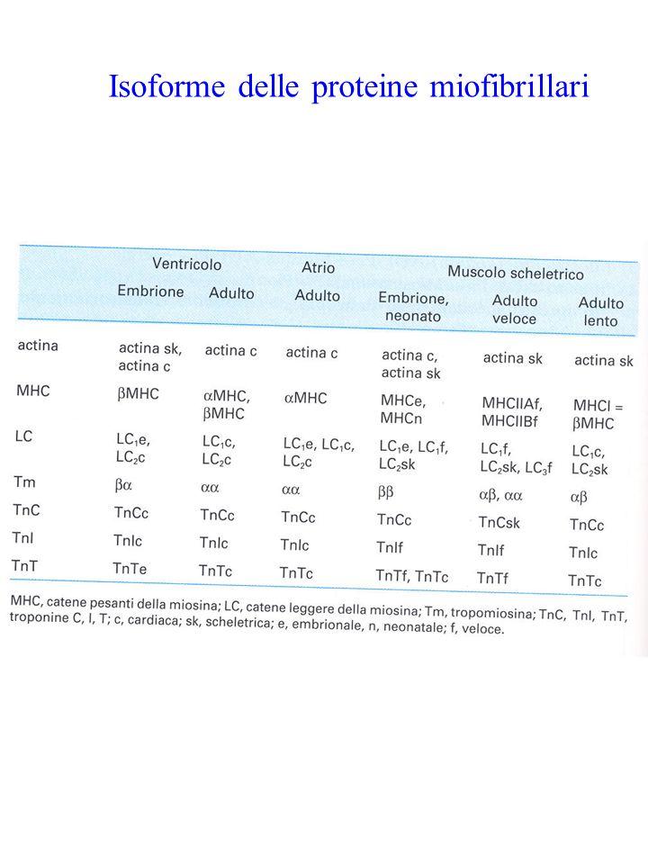 Isoforme delle proteine miofibrillari