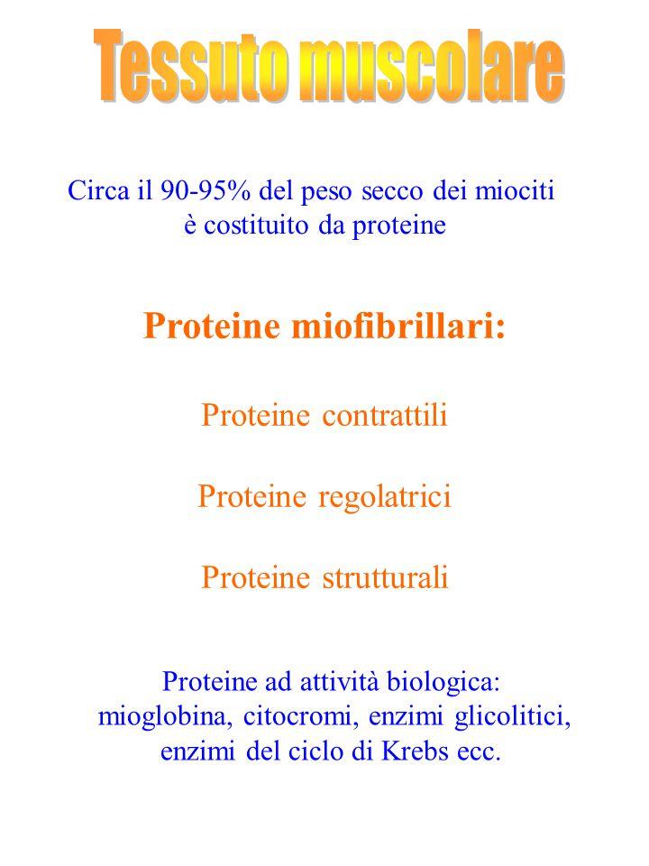 Proteine miofibrillari: