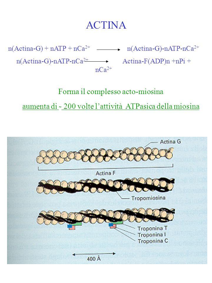 ACTINA Forma il complesso acto-miosina