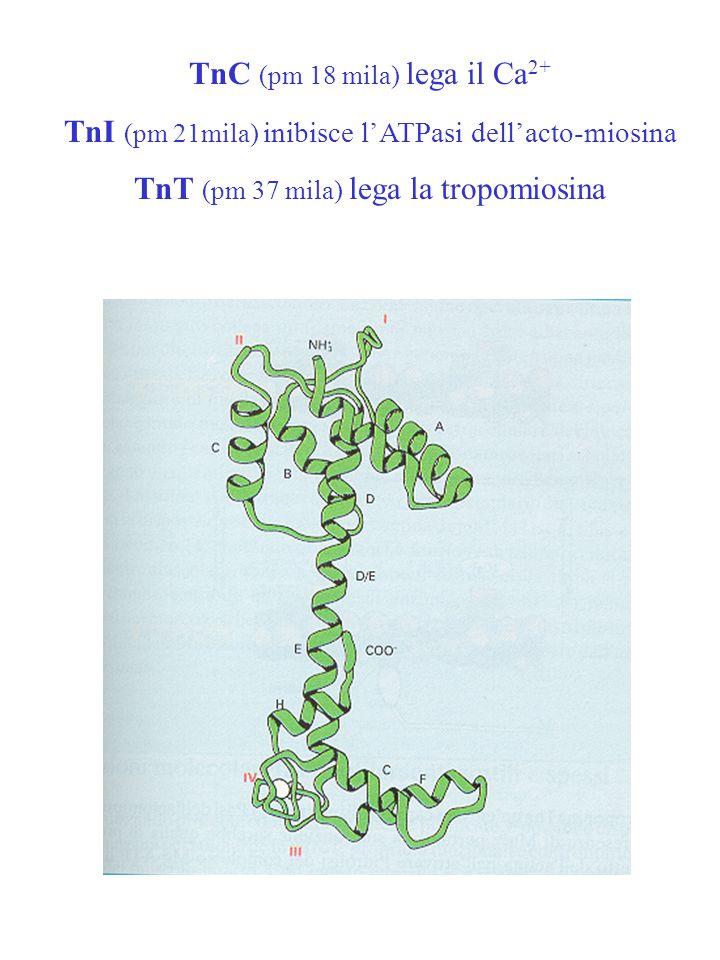 TnC (pm 18 mila) lega il Ca2+
