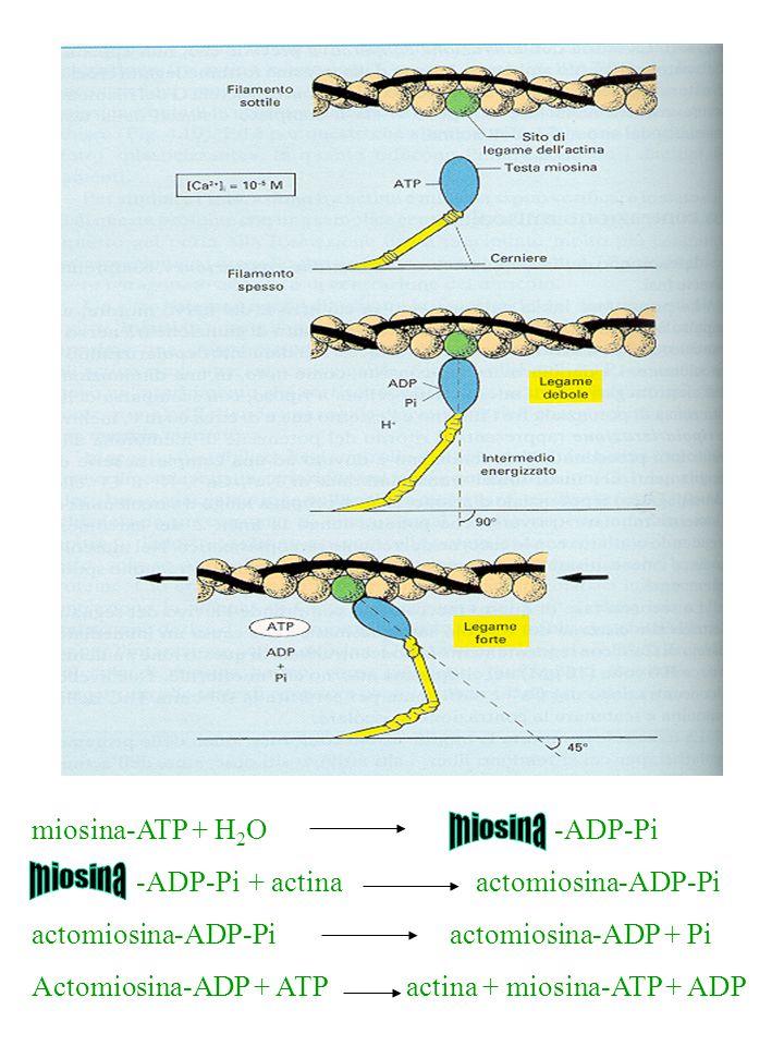 miosina miosina miosina-ATP + H2O -ADP-Pi