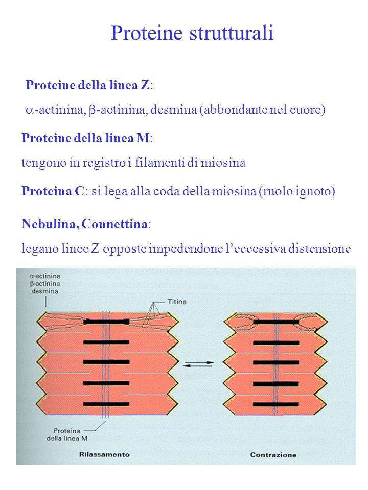Proteine strutturali Proteine della linea Z: