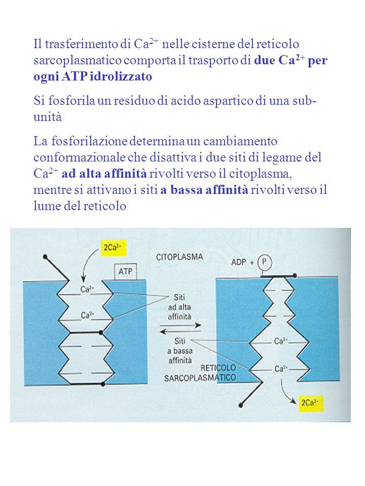 Il trasferimento di Ca2+ nelle cisterne del reticolo sarcoplasmatico comporta il trasporto di due Ca2+ per ogni ATP idrolizzato