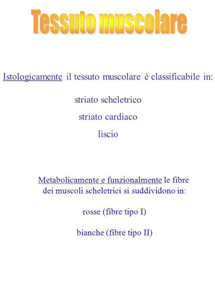 Tessuto muscolare Istologicamente il tessuto muscolare è classificabile in: striato scheletrico. striato cardiaco.