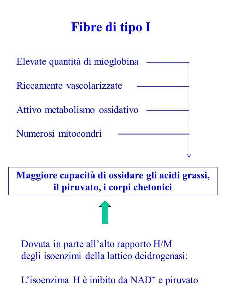 Fibre di tipo I Elevate quantità di mioglobina