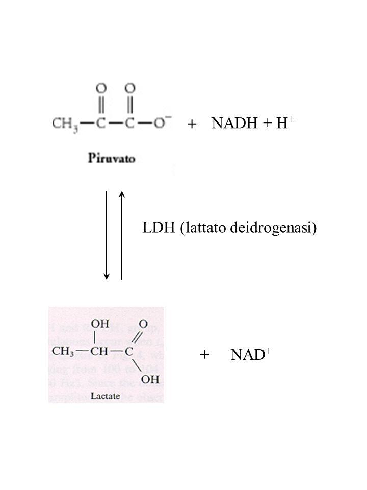 + NADH + H+ LDH (lattato deidrogenasi) + NAD+