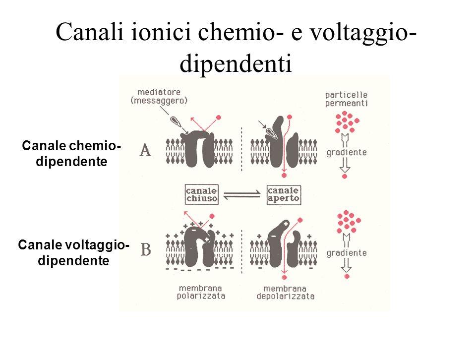 Canale chemio-dipendente Canale voltaggio-dipendente