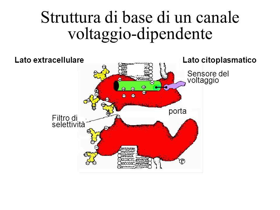 Struttura di base di un canale voltaggio-dipendente