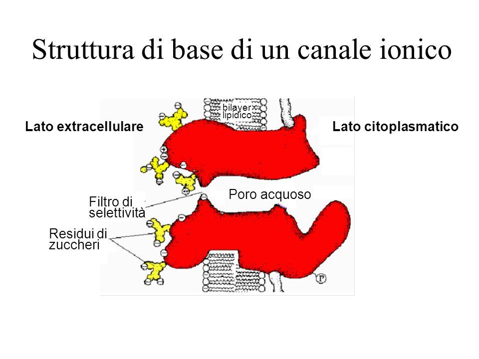 Struttura di base di un canale ionico