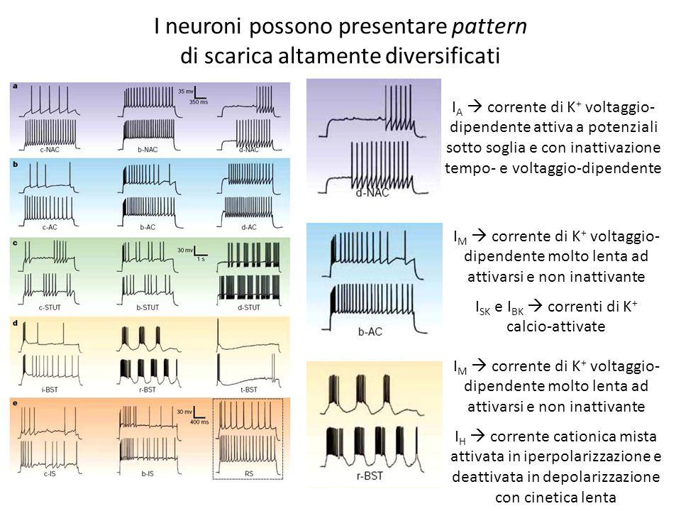 I neuroni possono presentare pattern
