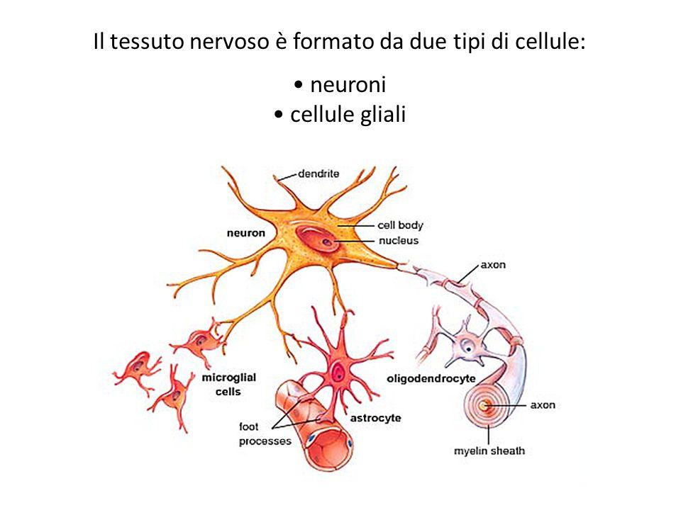 Il tessuto nervoso è formato da due tipi di cellule:
