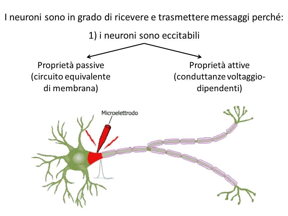 I neuroni sono in grado di ricevere e trasmettere messaggi perché:
