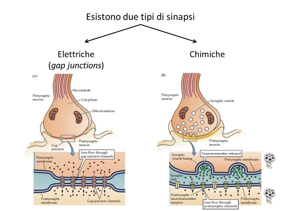 Esistono due tipi di sinapsi