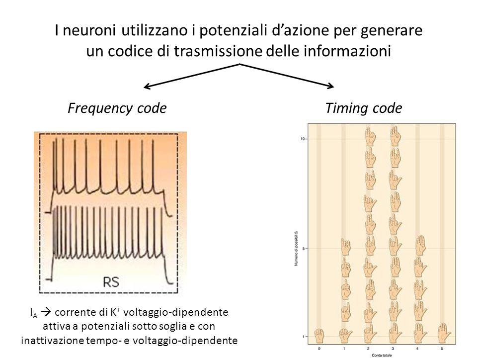 I neuroni utilizzano i potenziali d'azione per generare