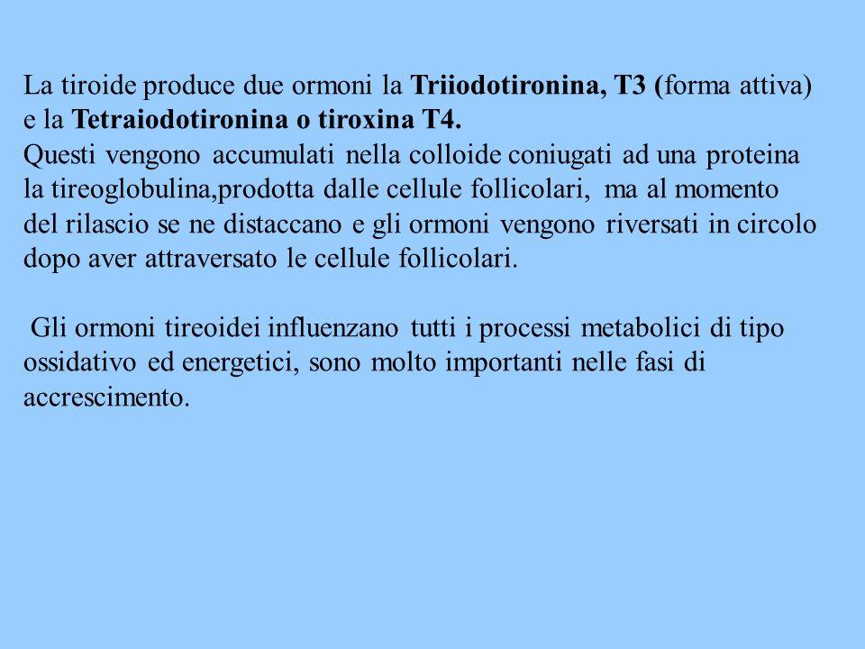 La tiroide produce due ormoni la Triiodotironina, T3 (forma attiva)