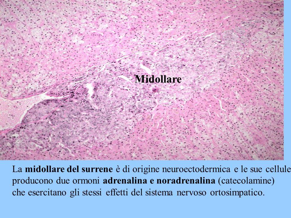 Midollare La midollare del surrene è di origine neuroectodermica e le sue cellule. producono due ormoni adrenalina e noradrenalina (catecolamine)