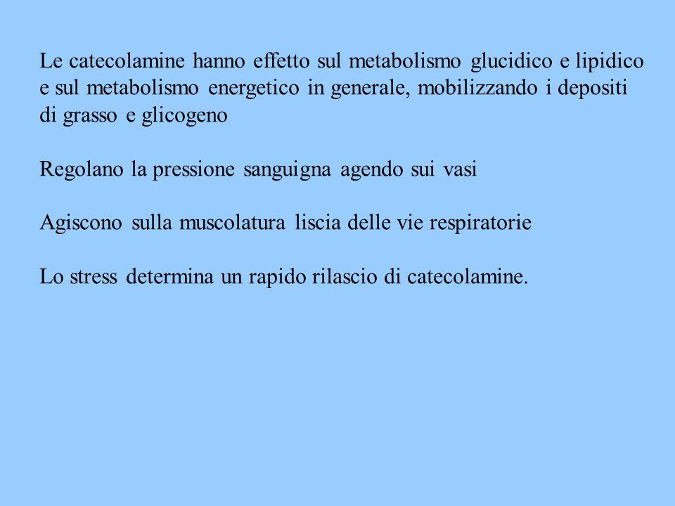 Le catecolamine hanno effetto sul metabolismo glucidico e lipidico