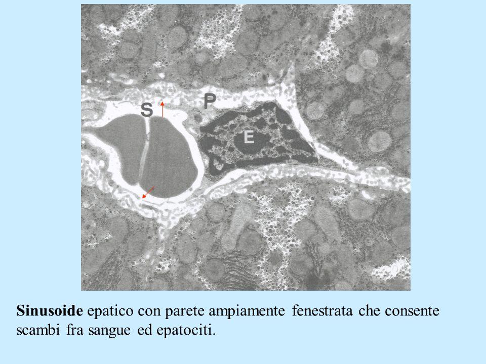 Sinusoide epatico con parete ampiamente fenestrata che consente